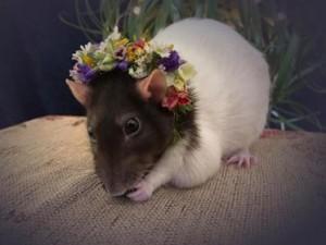 rat_floral_crown