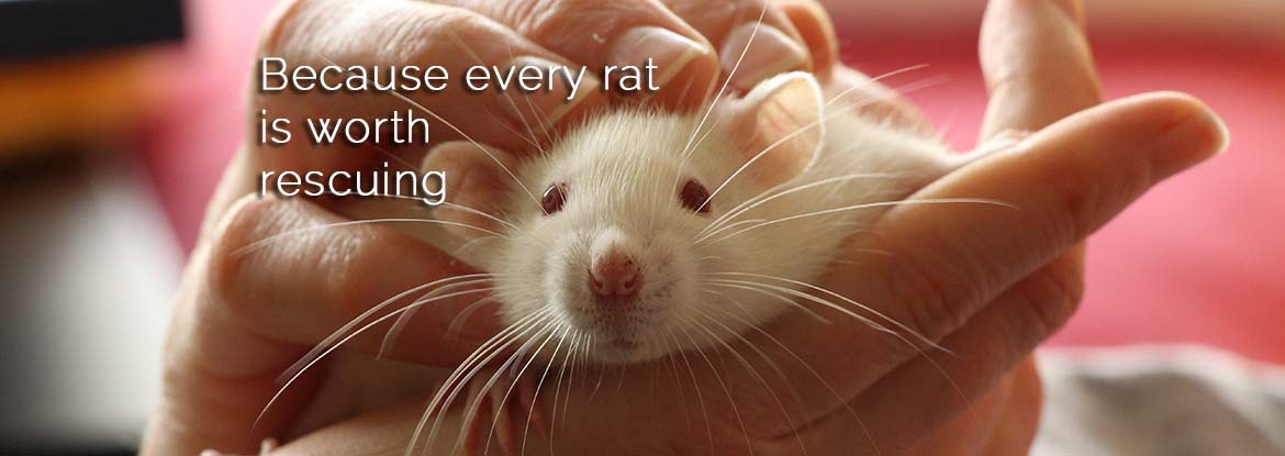 Mainely Rat Rescue Because Every Rat Is Worth Rescuing