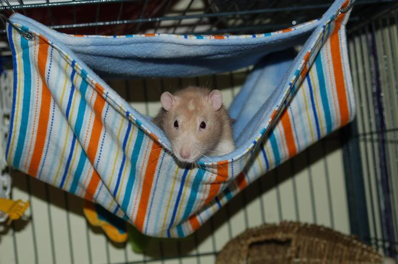 bunk beds hammocks   mainely rat rescue the rat roost online retail shop  rh   mainelyratrescue org